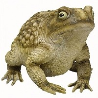 Large Toad with Warts
