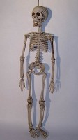 20'' Realistic Skeleton